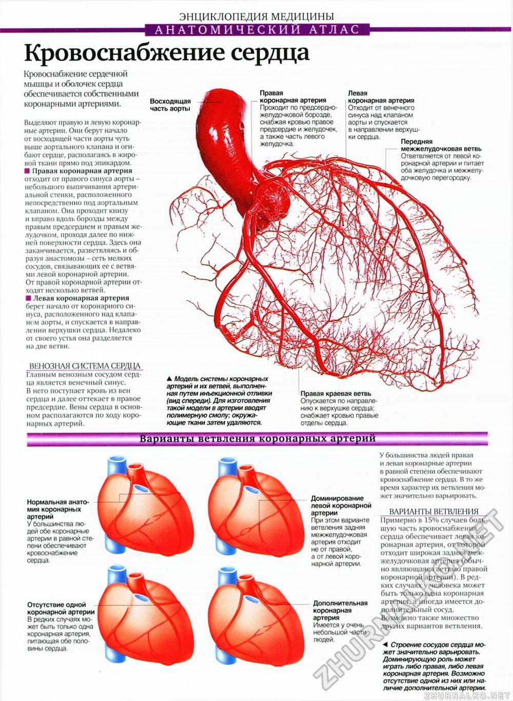 Схема коронарных артерий сердца человека