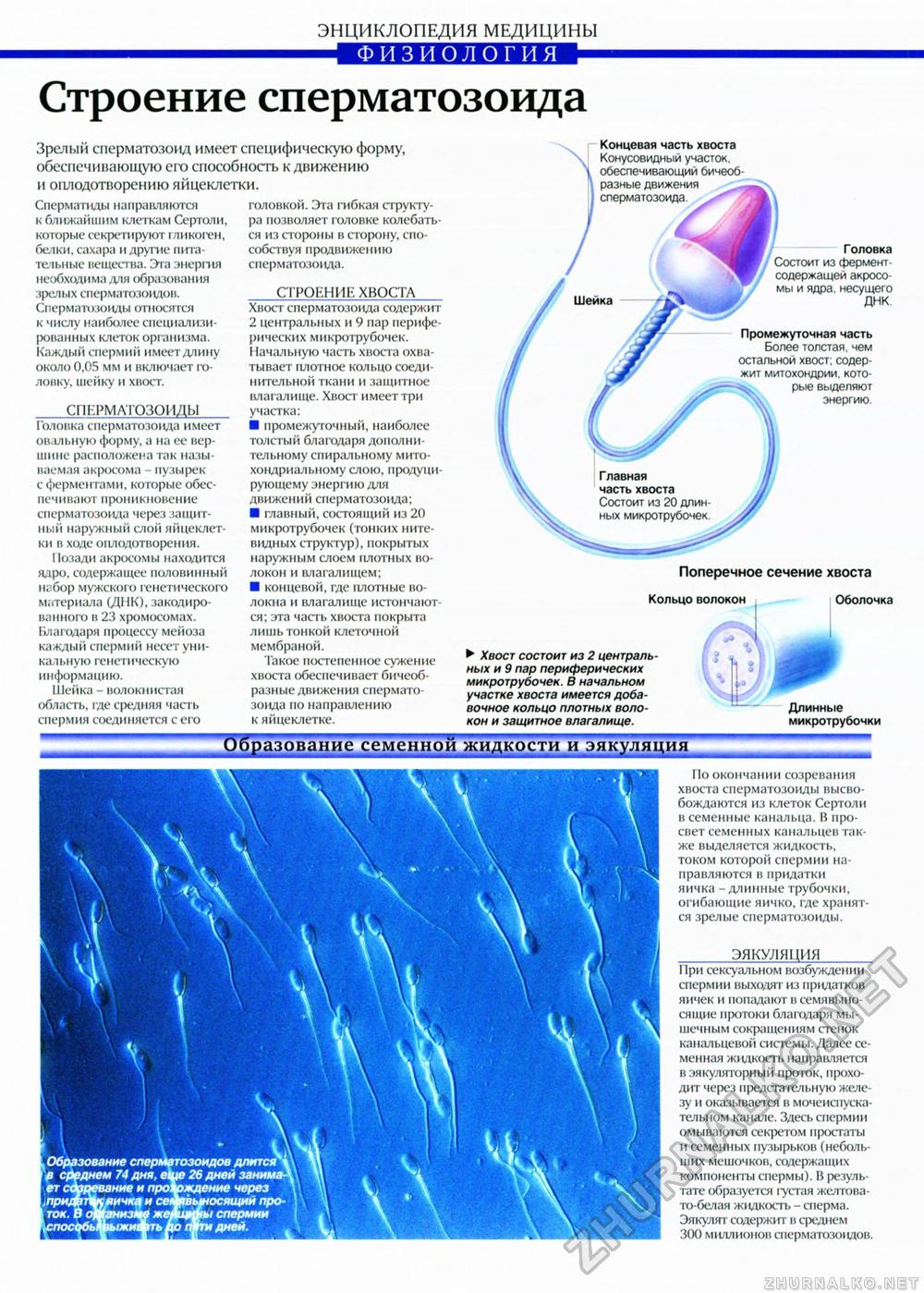 Образование спермы у человека