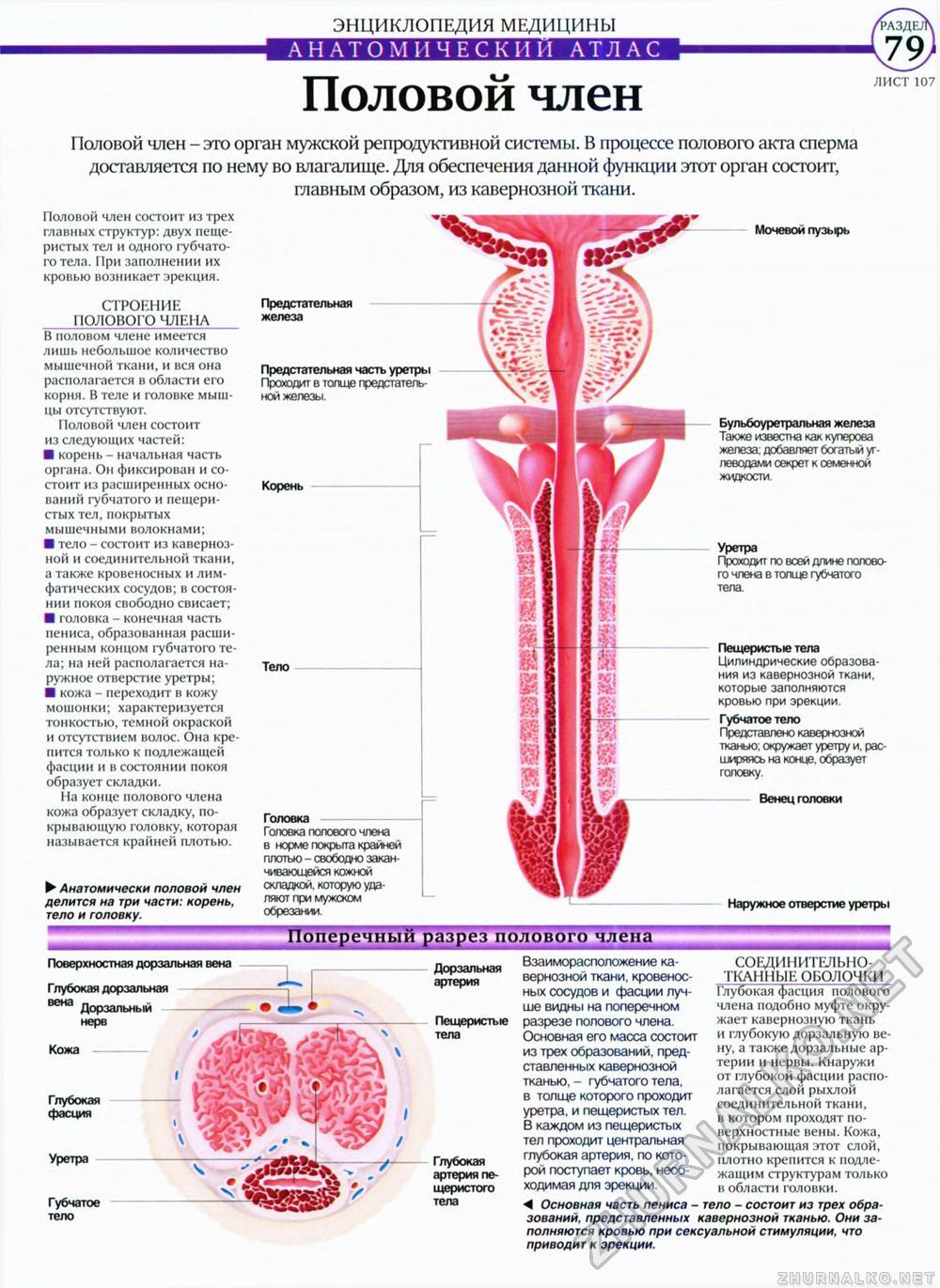 физиология полового члена
