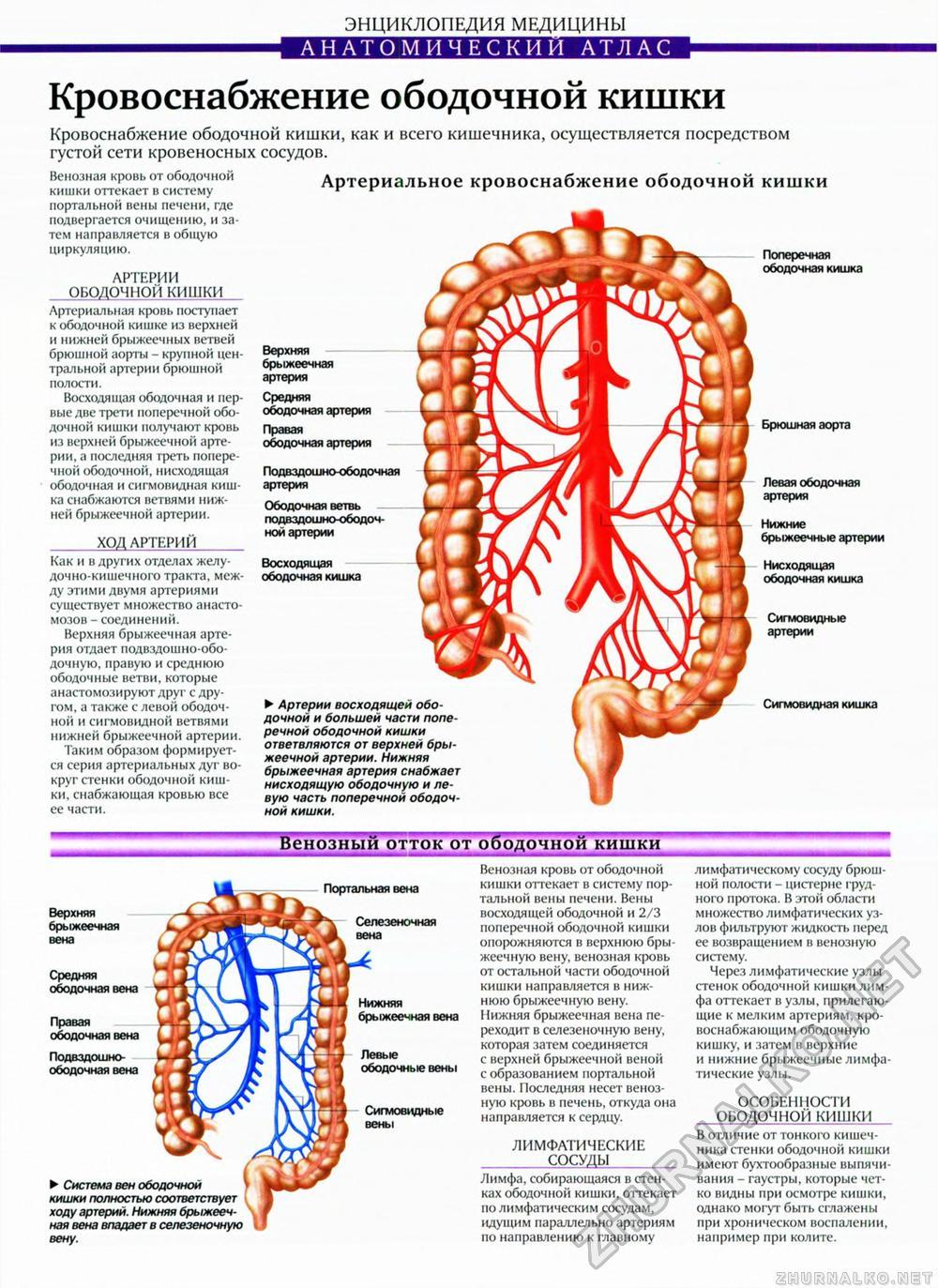 схема расположения кишечника в теле человека