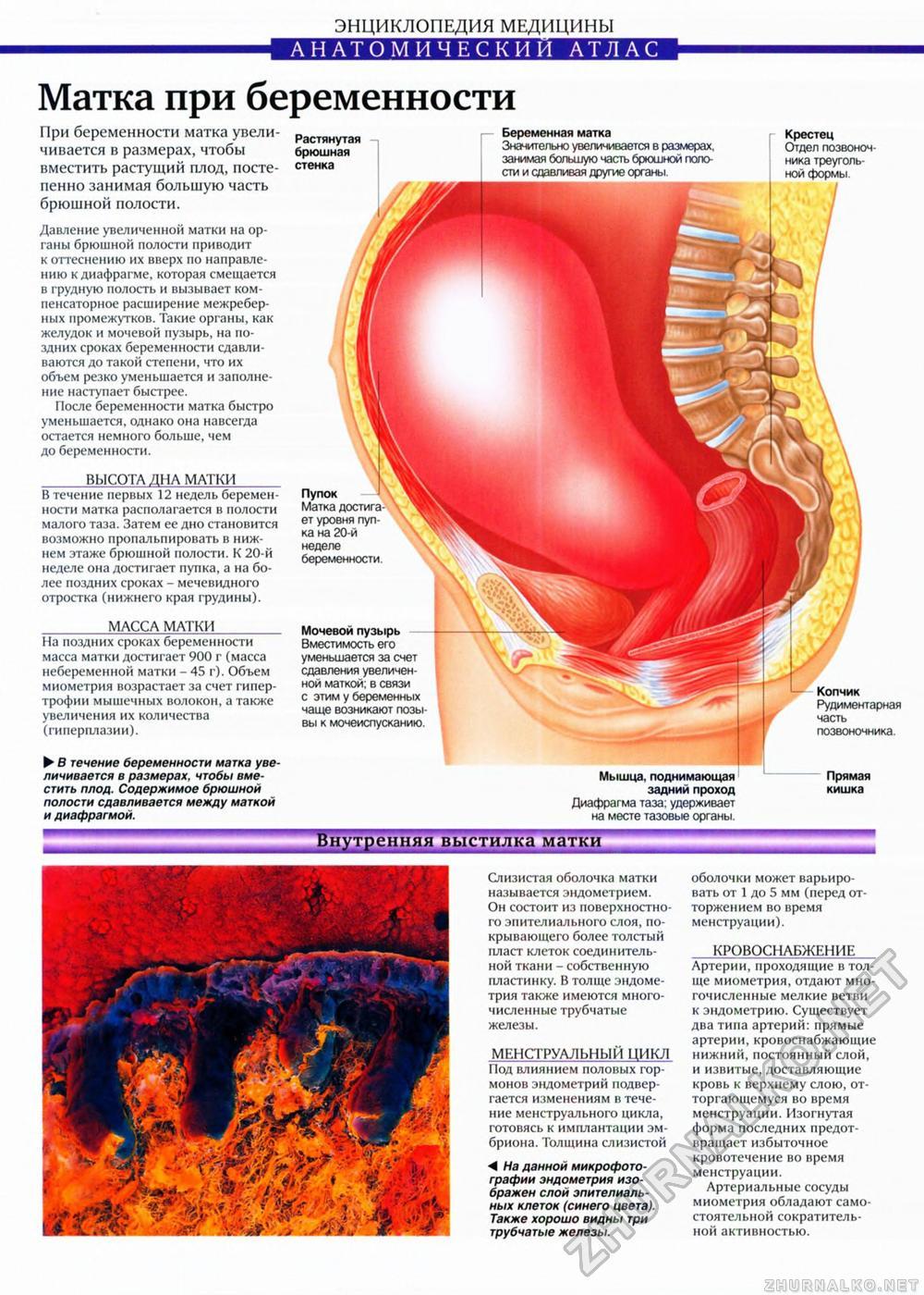 Тело матки при беременности