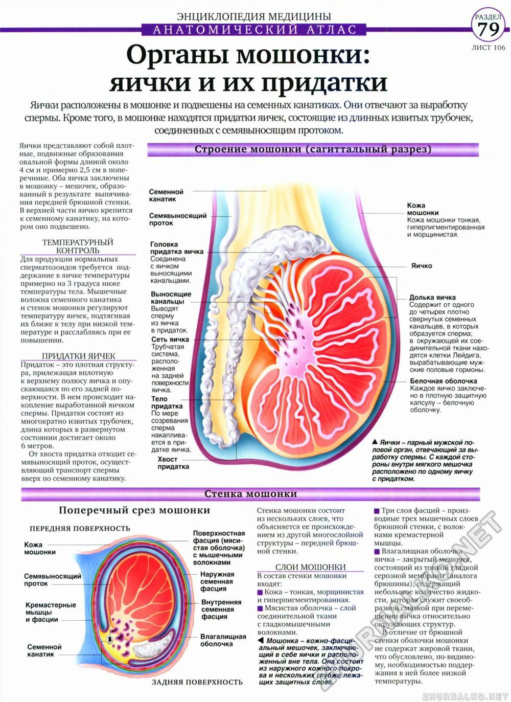 Перекрут яичка - симптомы болезни, профилактика и лечение 2